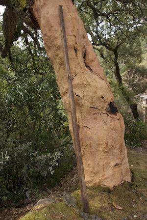 Schors van de kurkeik werd ontschorst voor het gebruik van spuitkurk.